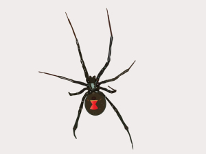 Vector Black Widow Spider