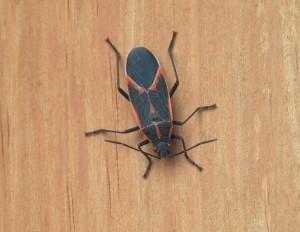 Boisea trivittata - Boxelder Bug