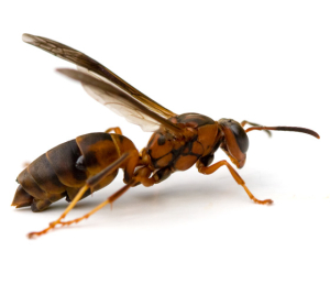 Wasp with Parasites