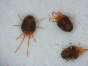 clover-mites