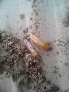 Subterranean Termites (Worker on left - Soldier on right)