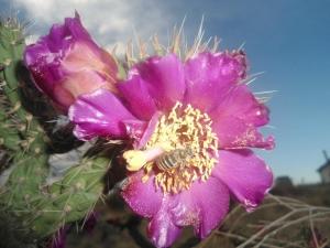 Honey Bee on Cactus Flower