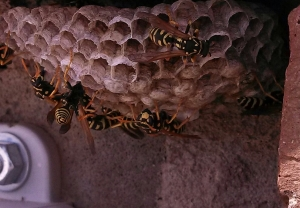 European paper wasps and nest