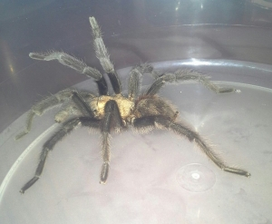 Male Tarantula found south of Colorado Springs