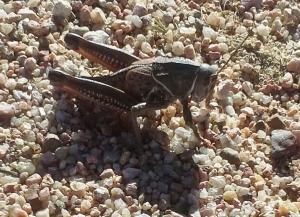 Mug A Bug Pest Control, Colorado Springs, Plains Lubber Grasshopper