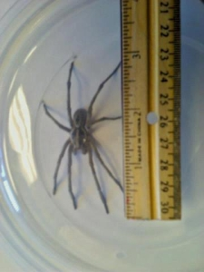 Wolf Spider Specimen - Brought into our office in September 2012