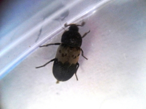 Larder Beetle (Enlarged)