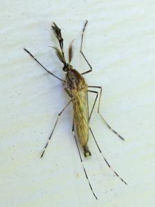 Aedes Dorsalis