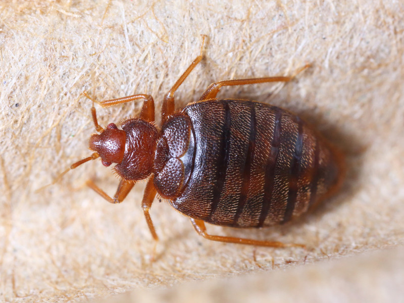 Bed bug adults are reddish brown in color and roughly the size of an apple  seed  or tick   Bed bug nymphs are about 1 32 inch and can be translucent  or red. Bed Bugs and Traveling Tips   Mug A Bug Pest Control Colorado Springs