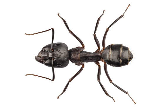Carpenter Ant species camponotus vagus