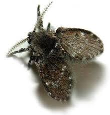 Drain Fly