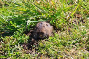 Pocket Gopher 2