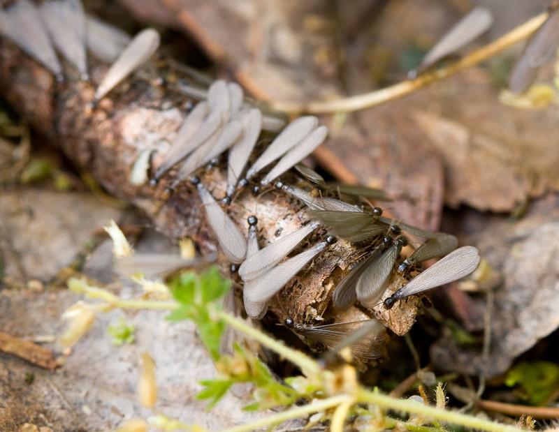 Mug A Bug Pest Control, Colorado Springs, Termite Swarmer