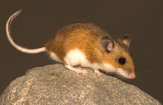 How Long Can Mice Live Without Food Or Water