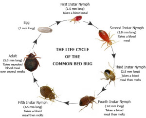 life-cycle-bed-bug
