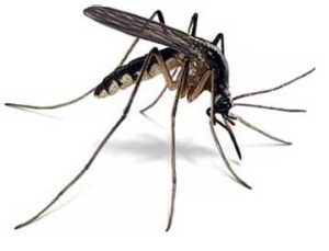 mosquito flying biting pests
