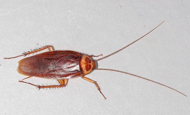 American Cockroaches in Colorado