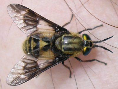Understanding Colorado Biting Flies, Deer Flies, Black Flies & More