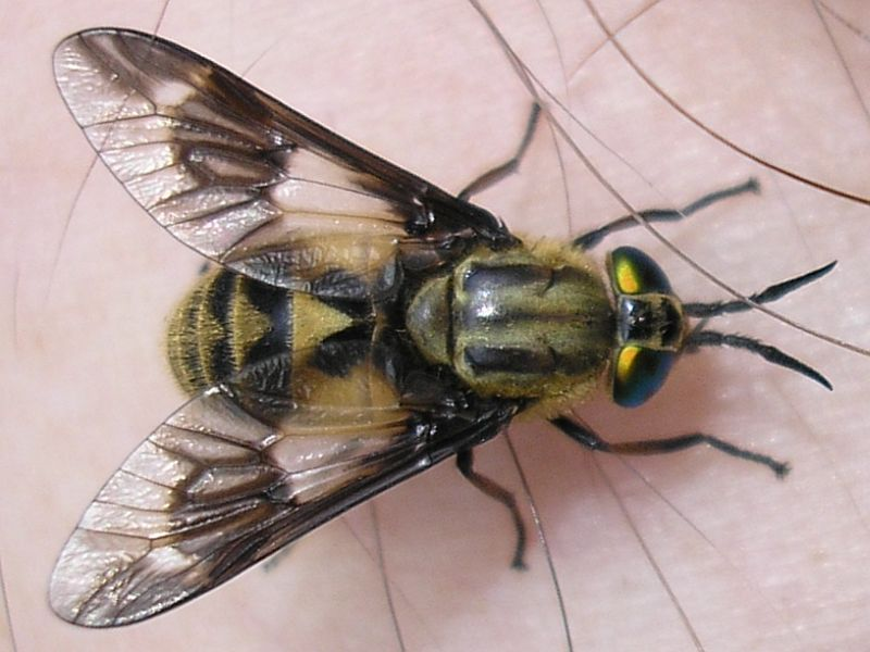 Understanding Colorado Biting Flies, Deer Flies, Black Flies & More