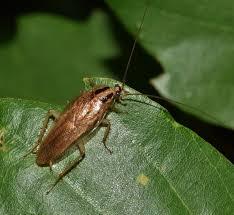 Exterminating German Cockroaches in Colorado