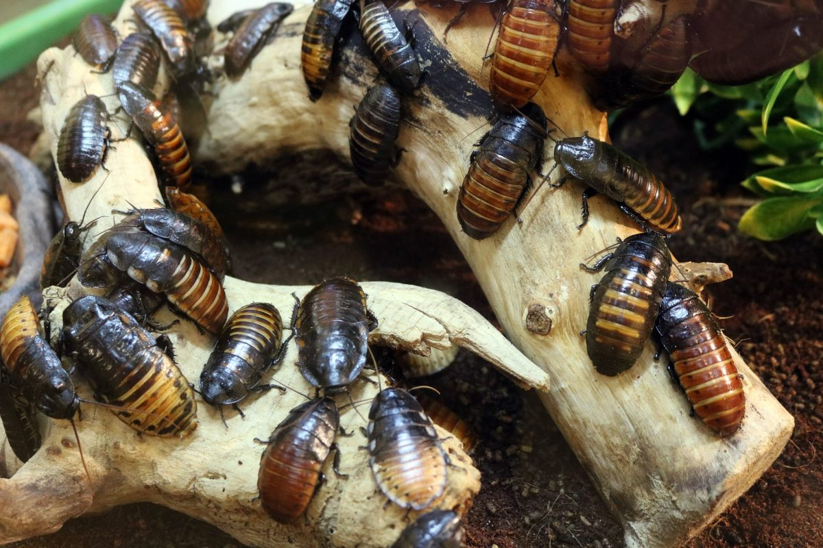 Exterminate Brown-Banded Cockroaches in Colorado
