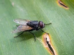 Understanding Housefly (Picture-Winged Flies) Infestations