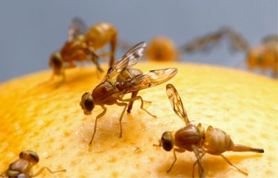 Remove Fruit/Vinegar Flies From Your Home