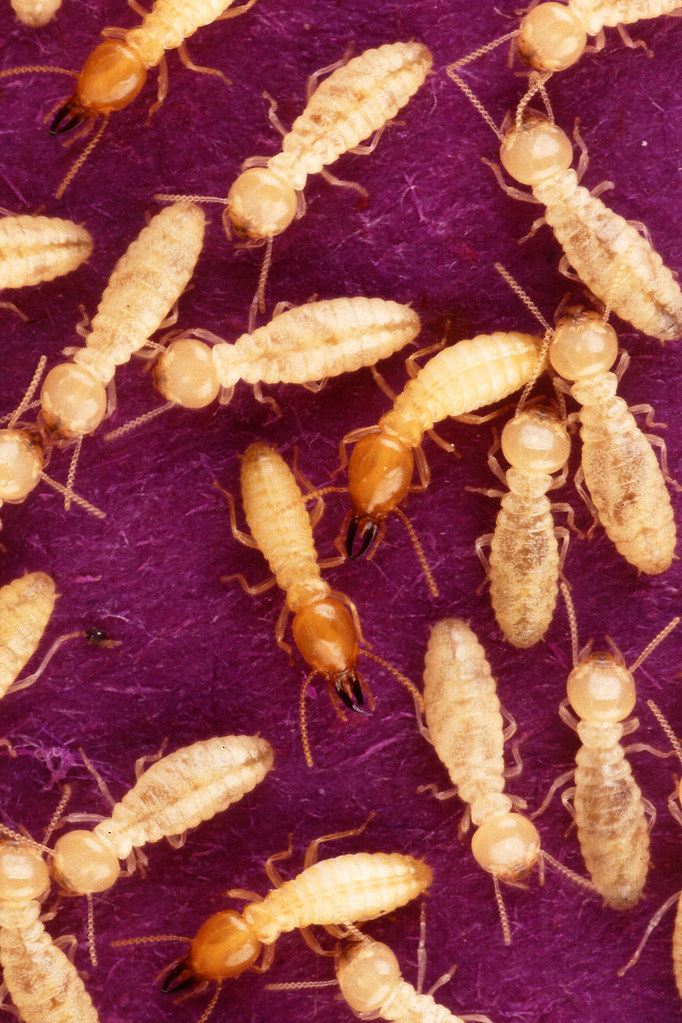 Keep Subterranean Termites Out Of Your Home
