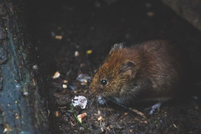 rodent pest control in Colorado